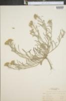 Lesquerella argentea image