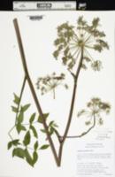Image of Angelica genuflexa