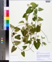 Image of Cynanchum racemosum