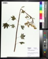 Image of Arnoglossum atriplicifolium