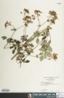 Image of Thalictrum pubescens