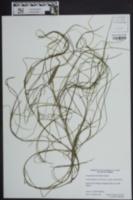 Image of Potamogeton floridanus