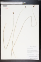 Fuirena scirpoidea image