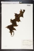 Image of Acanthus montanus