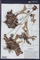 Sarracenia psittacina image