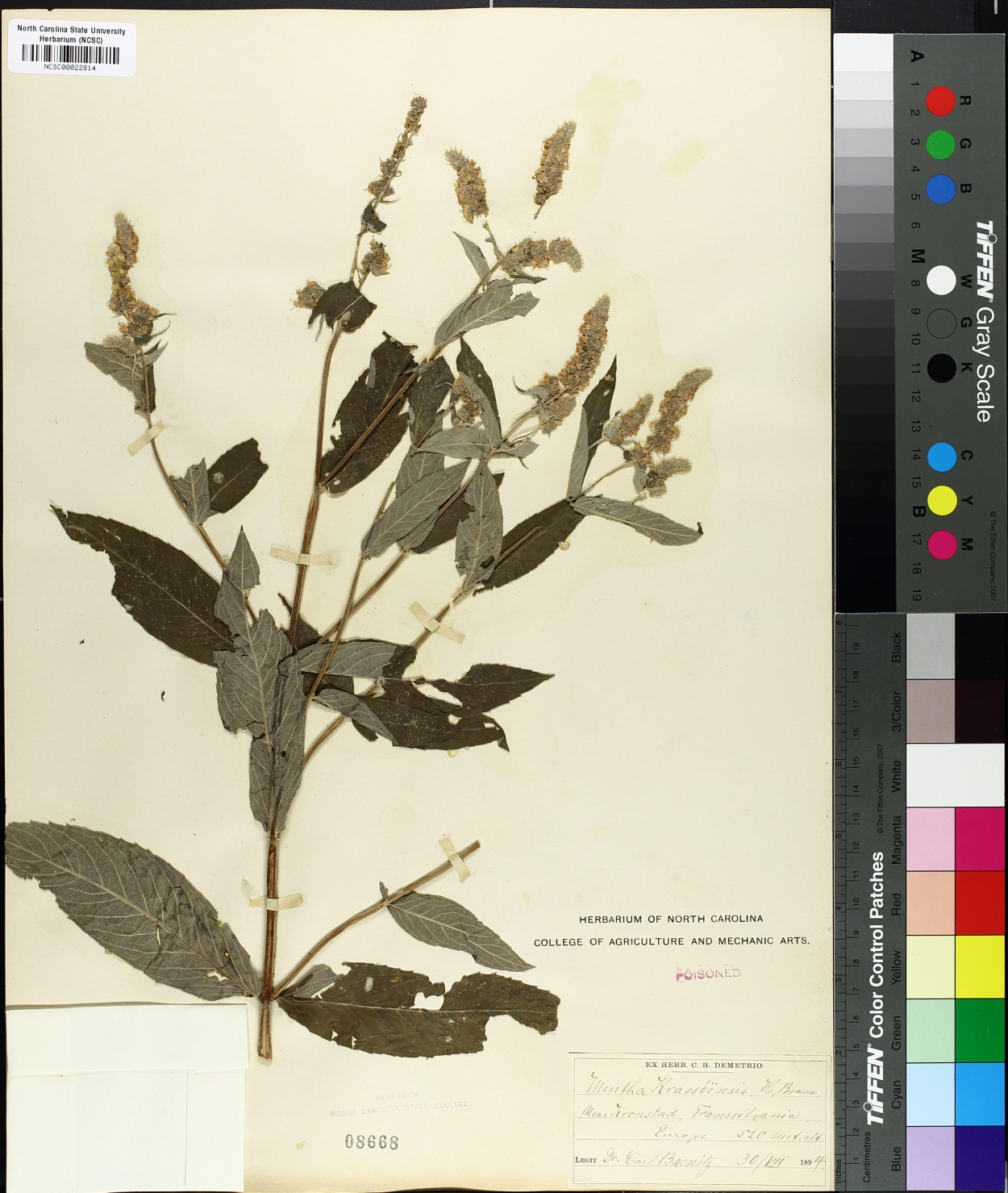 Mentha krassoensis image