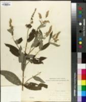 Image of Mentha krassoensis