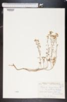 Alyssum argenteum image