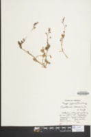 Image of Mazus japonicus