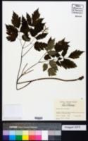 Image of Actaea alba
