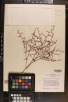 Eriogonum scabrellum image