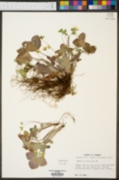 Anemone acutiloba image