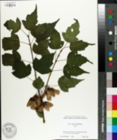 Image of Acer stachyophyllum