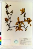 Image of Magnolia loebneri