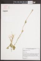 Image of Nicotiana longiflora