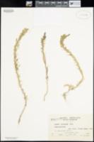 Suaeda torreyana image
