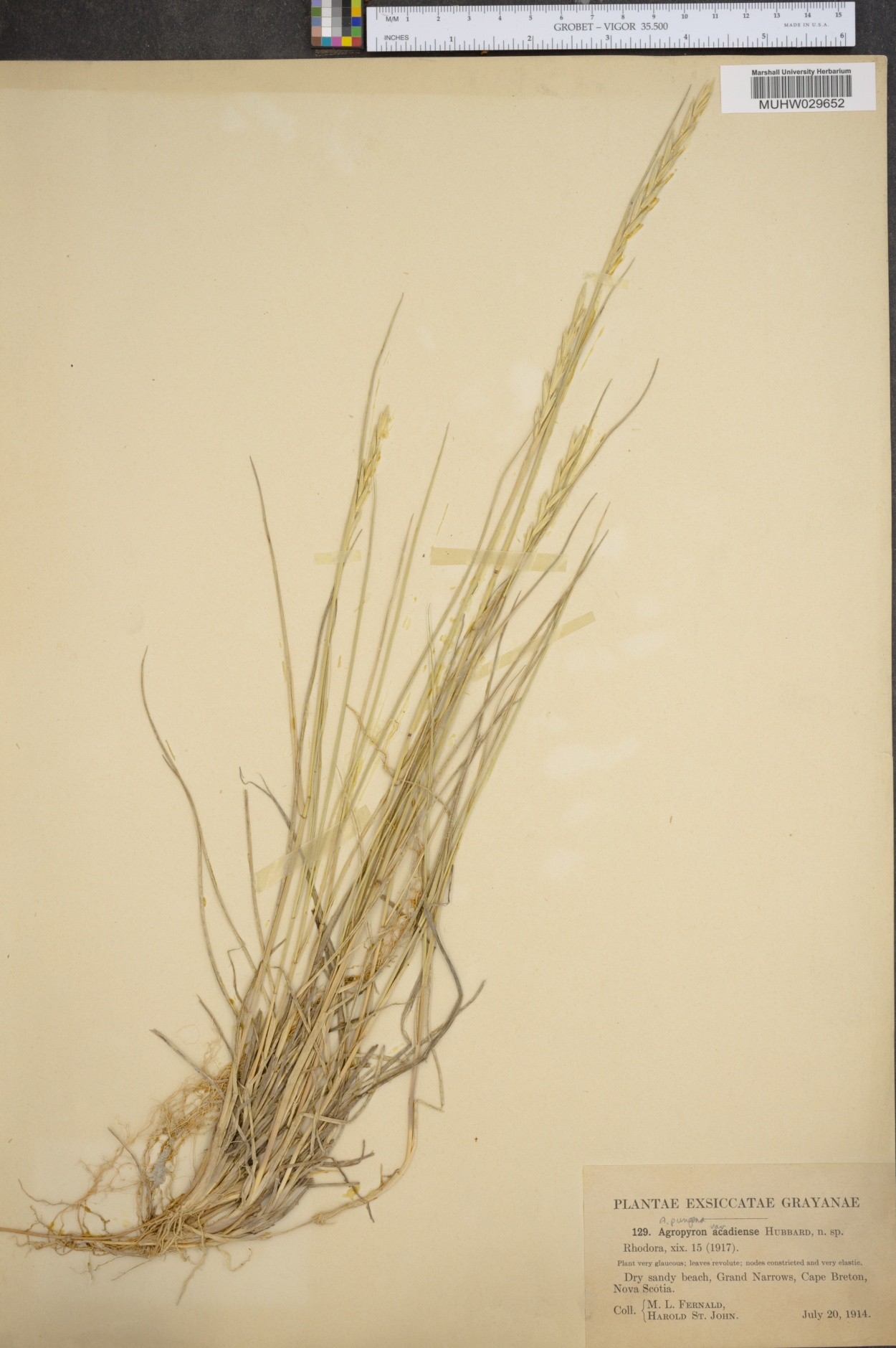 Thinopyrum pycnanthum image