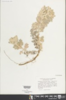 Artemisia stelleriana image