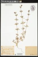 Image of Galium tricornutum