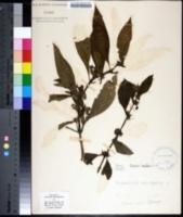 Image of Mentha longifolia
