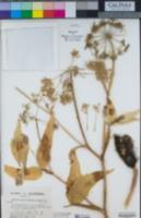 Image of Angelica callii