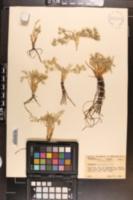 Eryngium alismaefolium image