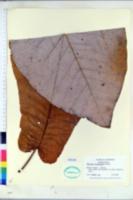Magnolia macrophylla image