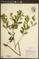 Image of Baptisia pendula