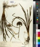 Allium nutans image