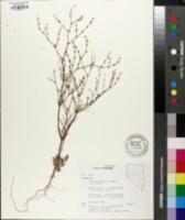Eriogonum baileyi var. baileyi image