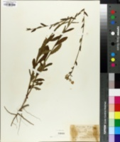Image of Piriqueta cistoides