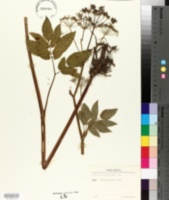 Image of Angelica sylvestris