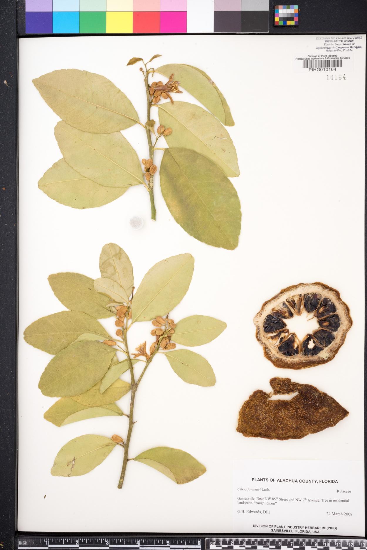 Citrus jambhiri image
