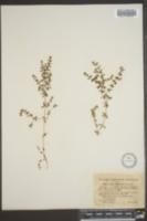 Image of Galium labradoricum