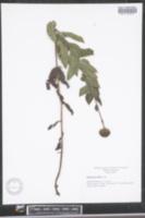 Helianthus mollis image