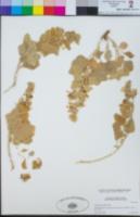 Image of Sphaeralcea palmeri