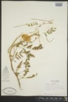 Image of Astragalus annularis