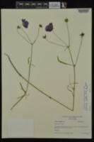 Callirhoe pedata image