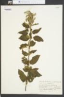 Image of Scutellaria cordifolia