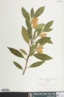Image of Prunus laurocerasus