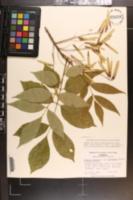Fraxinus americana var. biltmoreana image