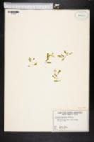 Image of Halophila baillonis