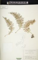 Image of Polypodium fauriei