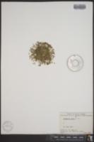 Image of Arenaria rossii