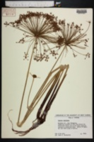 Image of Cyperus isocladus