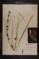 Rhynchospora glomerata image
