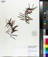 Image of Columnea linearis