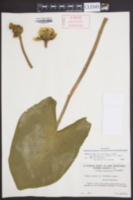 Nuphar lutea subsp. macrophylla image