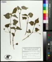 Viola pubescens var. eriocarpa image