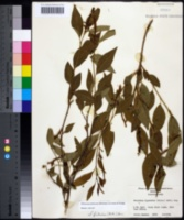 Image of Ditrysinia fruticosa